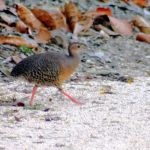 [:en]Bird Thicket Tinamou[:es]Ave Tinamú Canelo[:]
