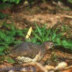 [:en]Bird Little Tinamou[:es]Ave Tinamú Chico[:]