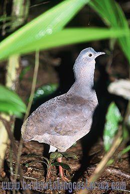 [:en]Bird Slaty-breasted Tinamou[:es]Ave Tinamú Pizarroso[:]