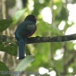 [:en]Bird Collared Trogon[:es]Ave Trogón Collarejo[:]