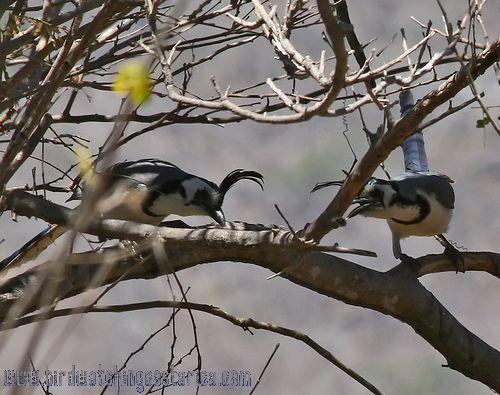 [:en]Bird White-throated Magpie-Jay[:es]Ave Urraca Copetona, Piapia Azúl[:]