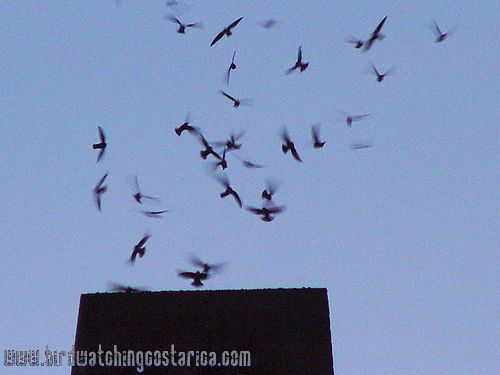 [:en]Bird Costa Rican Swift[:es]Ave Vencejo Costarricense[:]