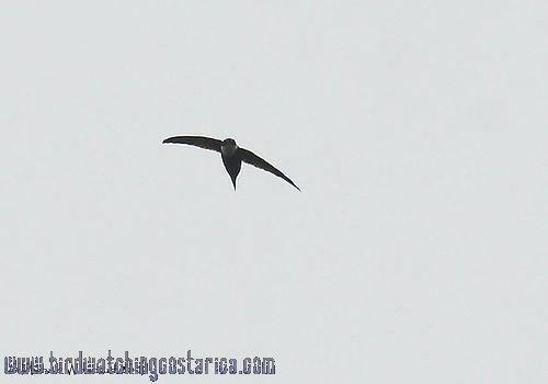 [:en]Bird Lesser Swallow-tailed Swift[:es]Ave Vencejo Tijereta Menor, Macuá[:]