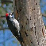 [:en]Bird Acorn Woodpecker[:es]Ave Carpintero Careto[:]