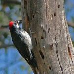 [:en]Bird Acorn Woodpecker[:es]Ave Carpintero Careto[:]