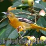 [:en]Bird Baltimore Oriole[:es]Ave Bolsero Norteño[:]