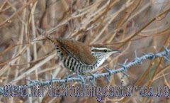 [:en]Bird Banded Wren[:es]Ave Soterrey de Costillas Barreteadas[:]