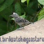 [:en]Bird Barred Antshrike[:es]Ave Batará Barreteado[:]