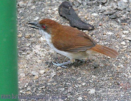 [:en]Bird Great Antshrike[:es]Ave Batará Grande[:]