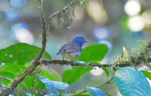 [:en]Bird Streak-crowned Antvireo[:es]Ave Batarito Pechirrayado[:]