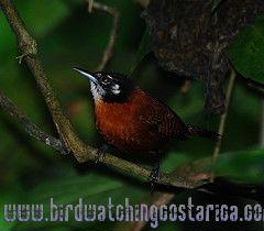 [:en]Bird Bay Wren[:es]Ave Soterrey Castaño[:]