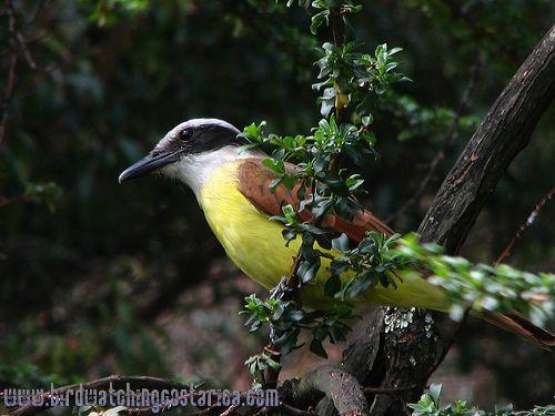 [:en]Bird Great Kiskadee[:es]Ave Bienteveo Grande[:]