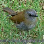 [:en]Bird Black-billed Nightingale-Thrush[:es]Ave Zorzal Piquinegro[:]