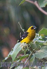 [:en]Bird Black-thighed Grosbeak[:es]Ave Picogrueso Vientriamarillo[:]