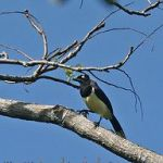 [:en]Bird Black-chested Jay[:es]Ave Urraca Pechinegra[:]