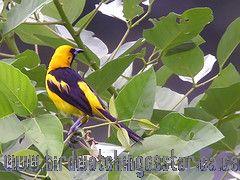 [:en]Bird Yellow-tailed Oriole[:es]Ave Bolsero Coliamarillo[:]