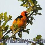 [:en]Bird Spot-breasted Oriole[:es]Ave Bolsero Pechimanchado[:]