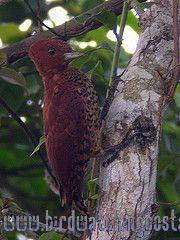 [:en]Bird Chestnut-colored Woodpecker[:es]Ave Carpintero Castaño[:]