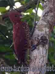 [:en]Bird Cinnamon Woodpecker[:es]Ave Carpintero Canelo[:]