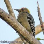 [:en]Bird Hoffmann´s Woodpecker[:es]Ave Carpintero de Hoffmann[:]