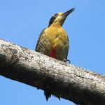 [:en]Bird Golden-naped Woodpecker[:es]Ave Carpintero Nuquidorado[:]