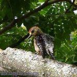 [:en]Bird Red-crowned Woodpecker[:es]Ave Carpintero Nuquirrojo[:]