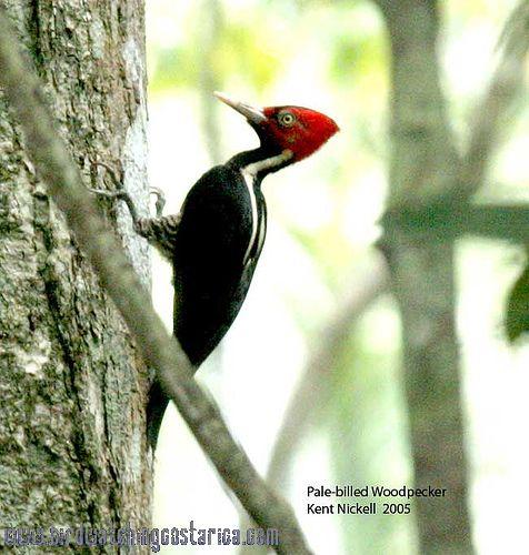 [:en]Bird Pale-billed Woodpecker[:es]Ave Carpintero Picoplata[:]