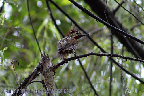[:en]Bird Golden-olive Woodpecker[:es]Ave Carpintero Verde Dorado[:]