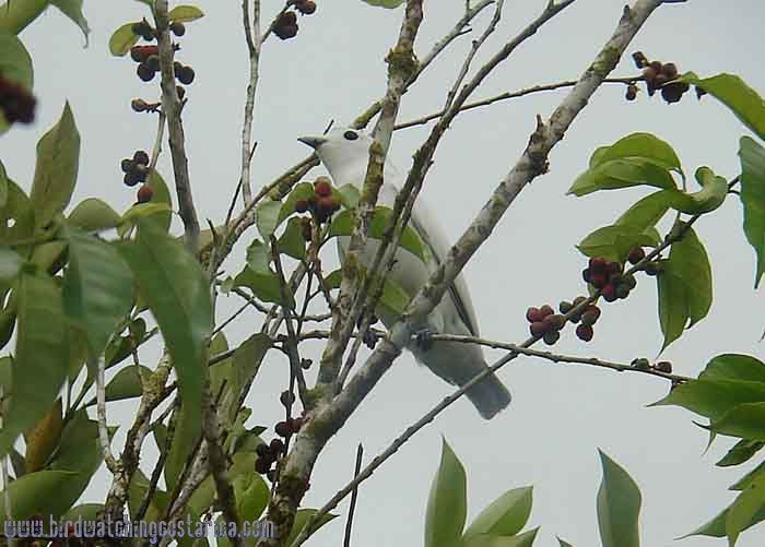 [:en]Bird Snowy Cotinga[:es]Ave Cotinga Nivosa[:]