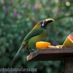 [:en]Bird Emerald Toucanet[:es]Ave Curré, Tucancillo Verde[:]