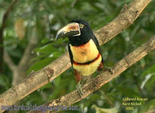 [:en]Bird Collared Aracari[:es]Ave Cusingo, Tucancillo Collarejo[:]