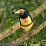 [:en]Bird Collared Aracari[:es]Ave Cusingo, Tucancillo Collarejo[:]