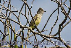 [:en]Bird Yellow-bellied Elaenia[:es]Ave Elainia Copetona[:]