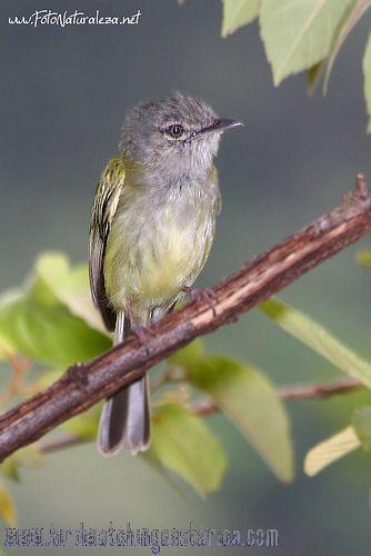 [:en]Bird Slate-headed Tody-Flycatcher[:es]Ave Espatulilla Cabecigris[:]