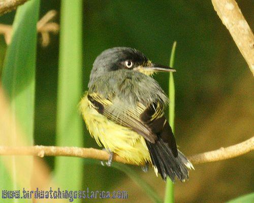 [:en]Bird Common Tody Flycatcher[:es]Ave Espatulilla Común[:]