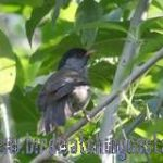 [:en]Bird Black-headed Antthrush[:es]Ave Gallito Hormiguero Cabecinegro[:]