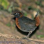 [:en]Bird Rufous-breasted Antthrush[:es]Ave Gallito Hormiguero Pechicastaño[:]