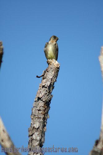[:en]Bird Southern Rough-winged Swallow[:es]Ave Golondrina Alirrasposa Sureña[:]