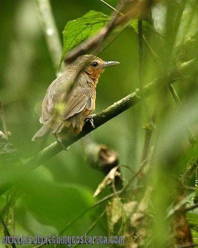 [:en]Bird Dusky Antbird[:es]Ave Hormiguerito Negruzco[:]