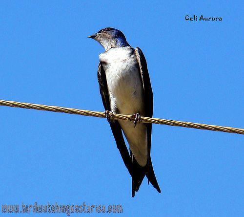 [:en]Bird Gray-breasted Martin[:es]Ave Martín Pechigris[:]