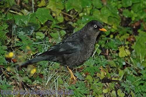 [:en]Bird Sooty Robin[:es]Ave Mirlo Negruzco[:]
