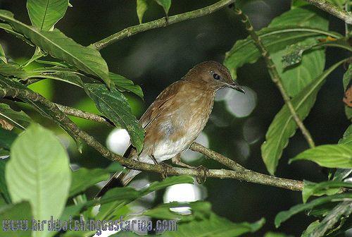 [:en]Bird Pale-vented Robin[:es]Ave Mirlo Vientriblanco[:]