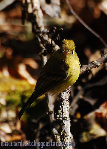 [:en]Bird Yellowish Flycatcher[:es]Ave Mosquerito Amarillento[:]