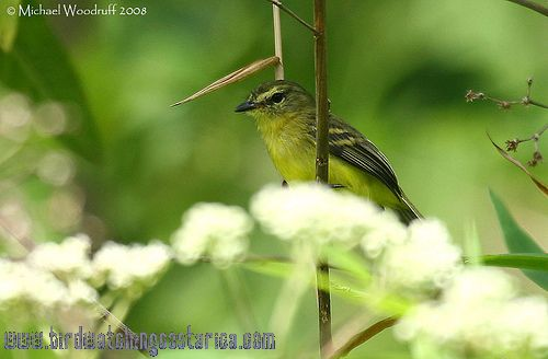 [:en]Bird Yellow Tyrannulet[:es]Ave Mosquerito Amarillo[:]