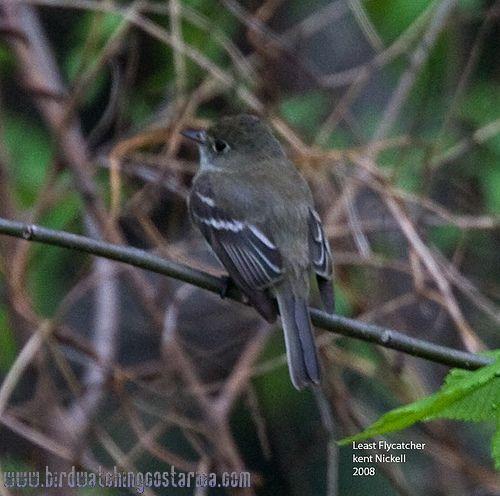[:en]Bird Least Flycatcher[:es]Ave Mosquerito Chebec[:]
