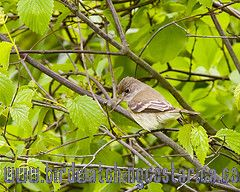 [:en]Bird Willow Flycatcher[:es]Ave Mosquerito de Traill[:]