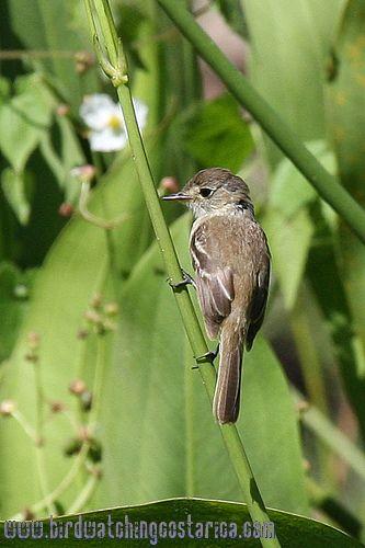 [:en]Bird White-throated Flycatcher[:es]Ave Mosquerito Gargantiblanco[:]