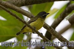 [:en]Bird Brown-capped Tyrannulet[:es]Ave Mosquerito Gorricafé[:]
