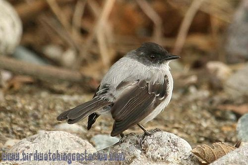 [:en]Bird Torrent Tyrannulet[:es]Ave Mosquerito Guardarríos[:]