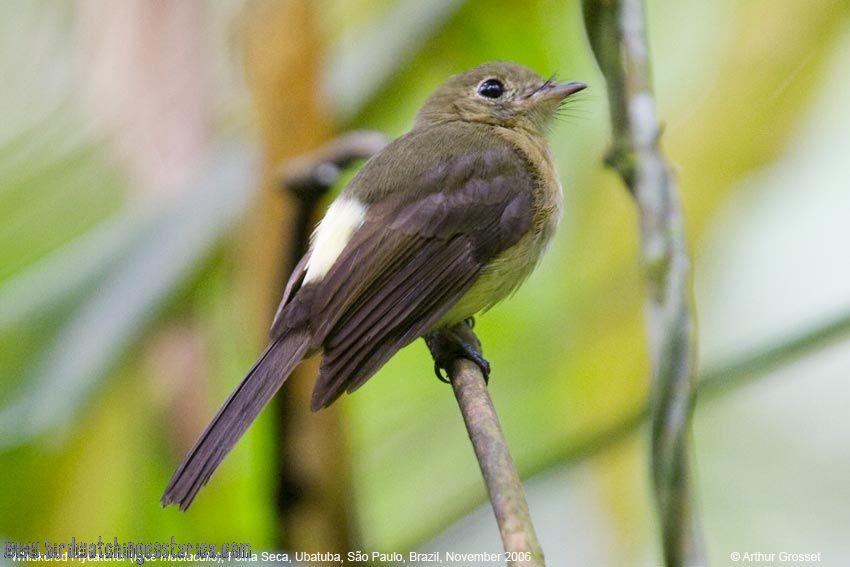 [:en]Bird Sulphur-rumped Flycatcher[:es]Ave Mosquerito Lomiamarillo[:]
